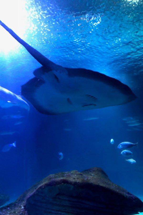 Raie à l'Aquarium Oceanografic de Valence